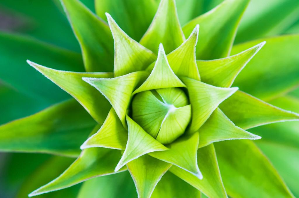 Best. Nr. Strukturen04   Henry's Lilie, Lilium henryi, Herny's Lily, Botanischer Gart