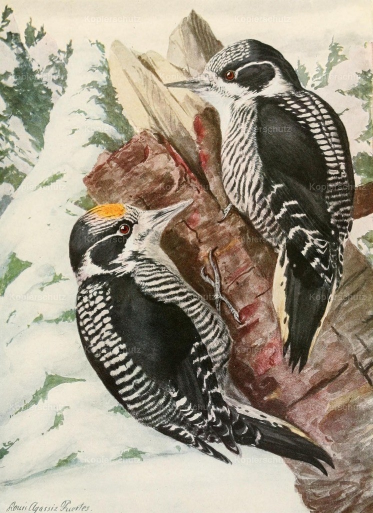 Fuertes_ L.A. (1874-1927) - Birds of America 1923 - American Woodpecker