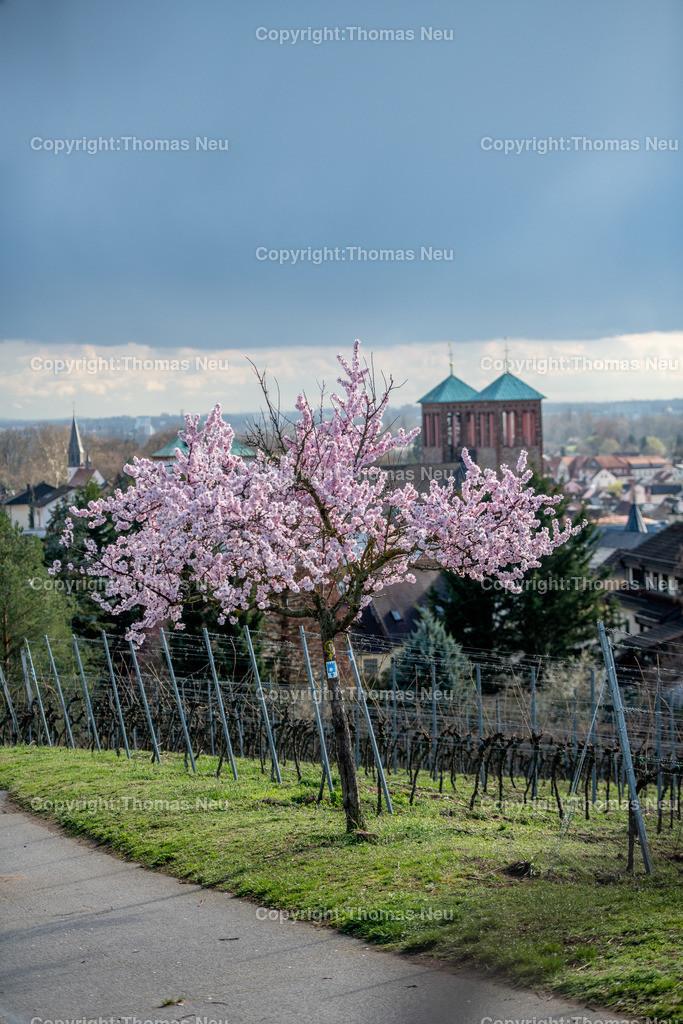 DSC_1659   Bensheim, Frühling, Mandelblüte, Hessische Bergstraße, Blick auf den Kirchberg mit dem Kirchberghäuschen, Bild: Thomas Neu