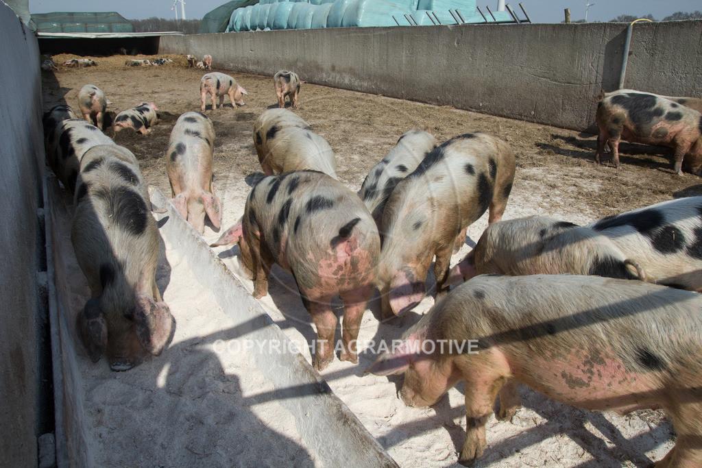 20130425-_MG_6226   Bioschweine - AGRARMOTIVE Bilder aus der Landwirtschaft