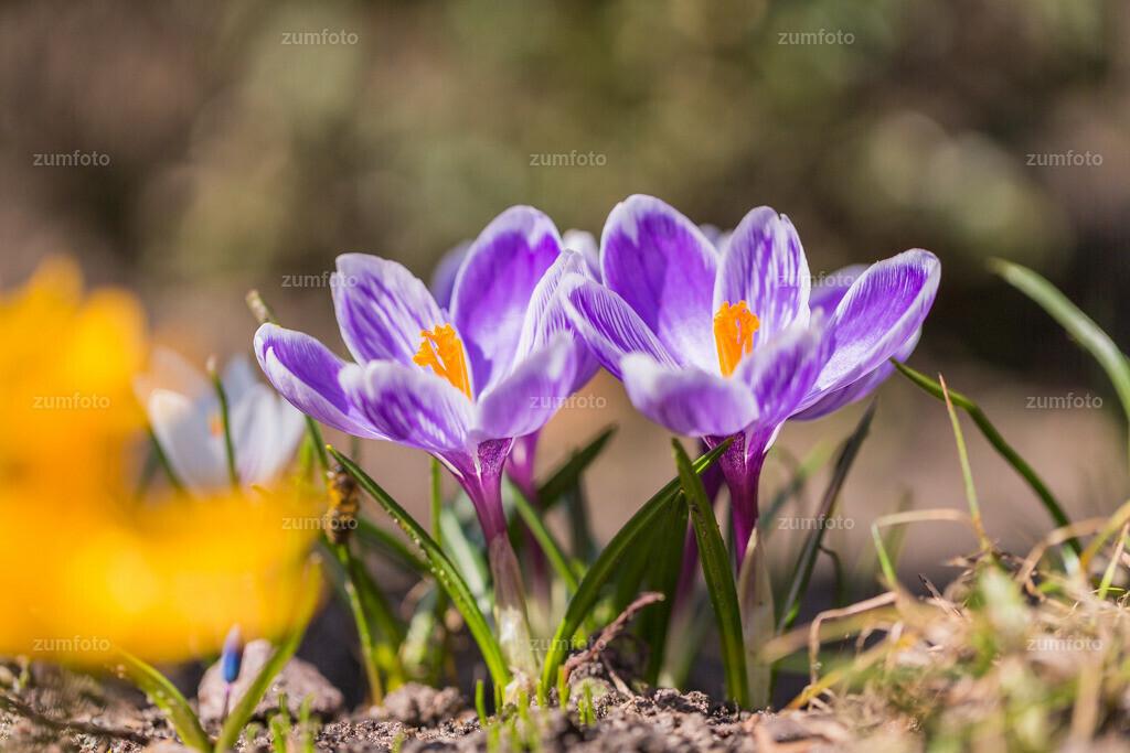 130414_1135-2-A | Auf Wunsch bekommt ihr hier mal Frühlingsblüher