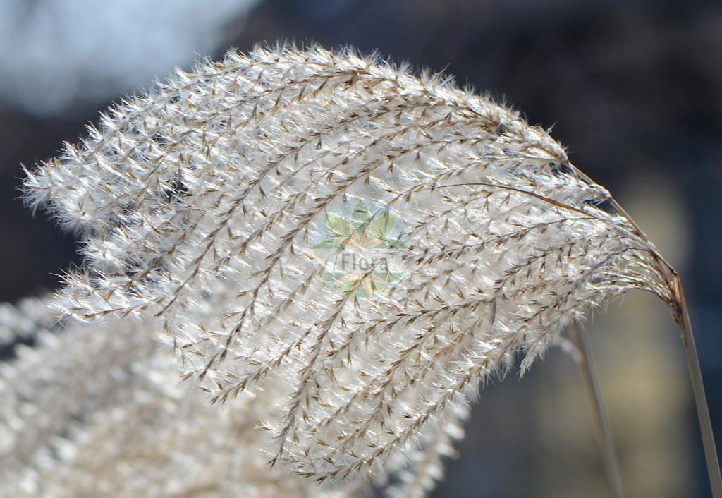 Miscanthus sinensis (Chinaschilf) | Foto von Miscanthus sinensis (Chinaschilf). Das Bild zeigt Bluete und Frucht. Das Foto wurde in Jena, Thueringen, Deutschland aufgenommen. ---- Photo of Miscanthus sinensis (Chinaschilf).The image is showing flower and fruit.The picture was taken in Jena, Thuringia, Germany.