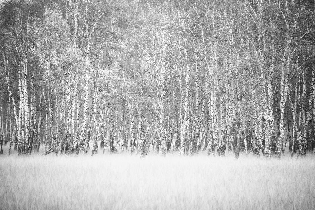 Birkenhain | Birkenwaldrand