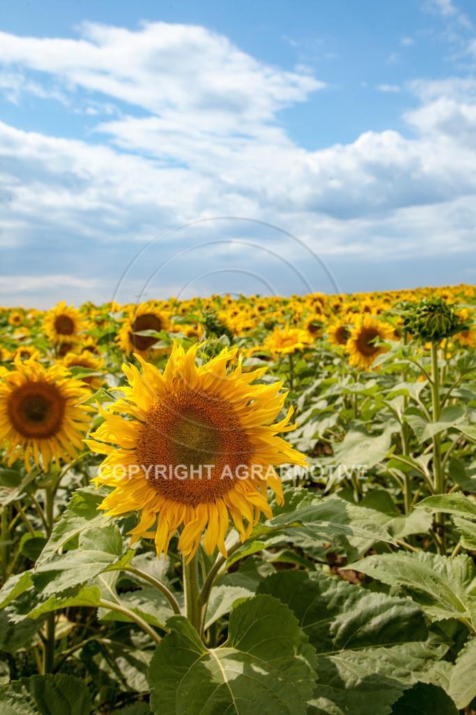 20090711-IMG_3775 | blühende Sonnenblumen im Sommer - AGRARMOTIVE Bilder aus der Landwirtschaft