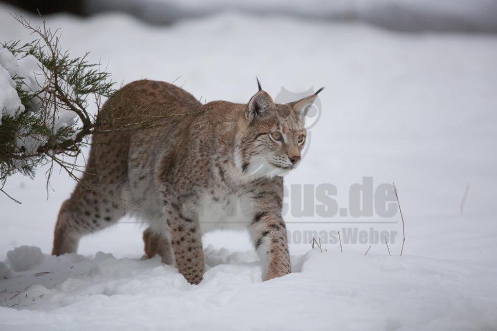 20130122150613 | Die Luchse sind eine Gattung der Familie der Katzen. Alle vier heute lebenden Arten kommen auf der Nordhalbkugel vor: Der Eurasische Luchs ist in weiten Teilen Europas und Asiens verbreitet.