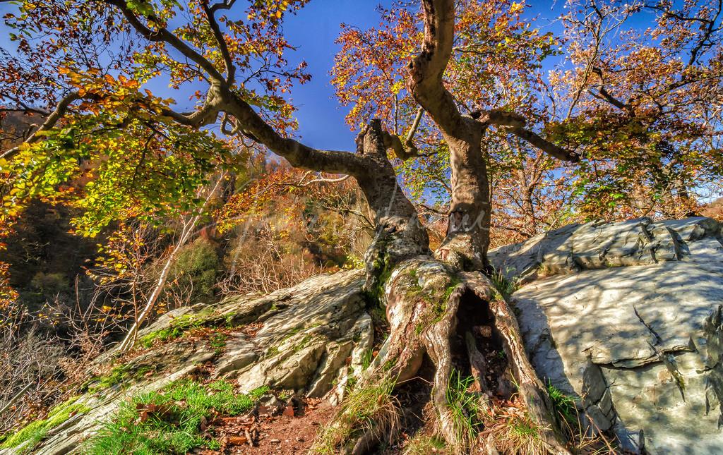 Der ehrwürdige Baum