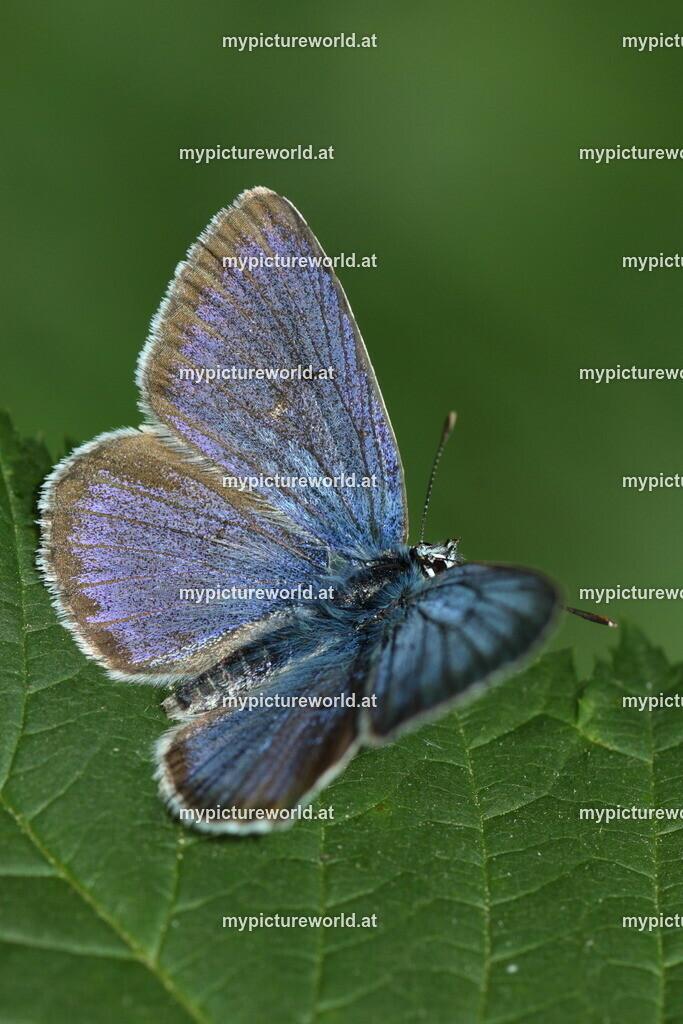 Violetter Waldbläuling-014