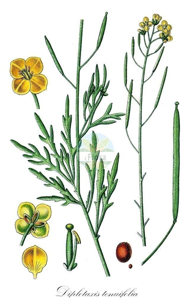 Historical drawing of Diplotaxis tenuifolia (Perennial Wall-rocket) | Historical drawing of Diplotaxis tenuifolia (Perennial Wall-rocket) showing leaf, flower, fruit, seed