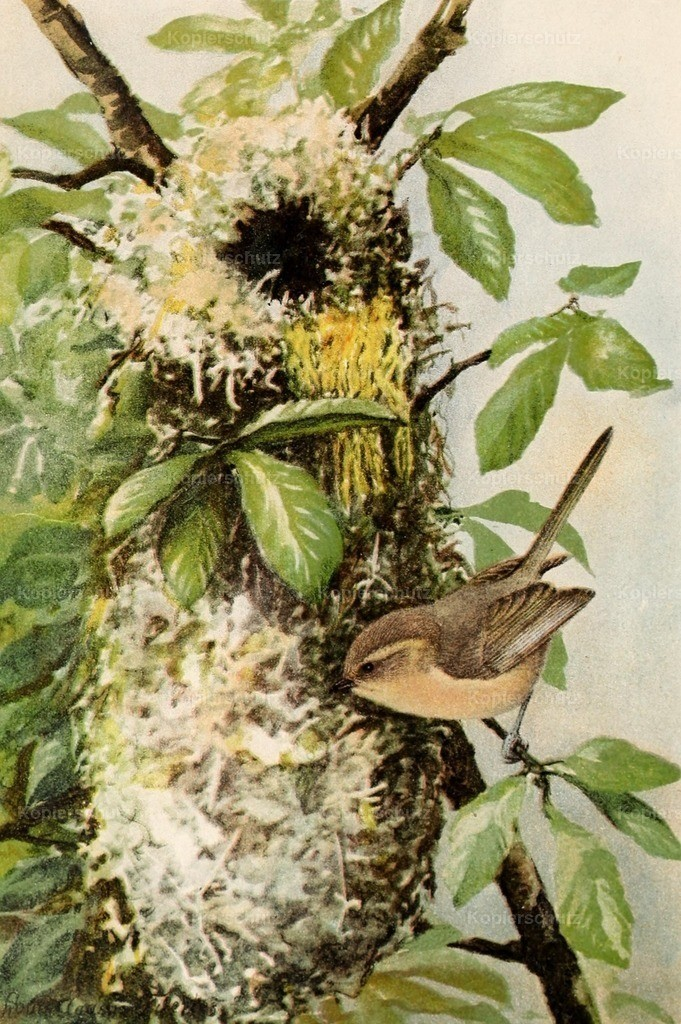 Fuertes_ L.A. (1874-1927) - Birds of California 1893 - California Bush-tit