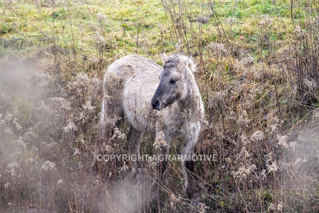20210110-DSCF5560 | Konik Wildpferde werden in Naturschutzgebiet Emsaue zur Landschaftspflege eingesetzt