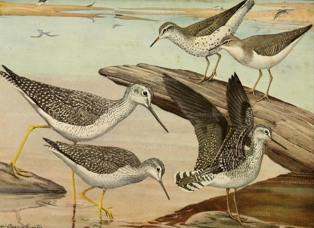 Fuertes_ L.A. (1874-1927) - Birds of Massachusetts 1925 - Sandpipers _ Yellow-legs