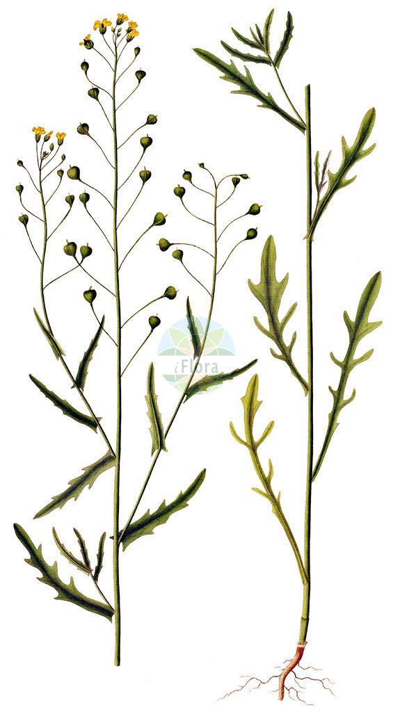 Camelina alyssum (Gezaehnter Leindotter - Flat-seed False Flax) | Historische Abbildung von Camelina alyssum (Gezaehnter Leindotter - Flat-seed False Flax). Das Bild zeigt Blatt, Bluete, Frucht und Same. ---- Historical Drawing of Camelina alyssum (Gezaehnter Leindotter - Flat-seed False Flax).The image is showing leaf, flower, fruit and seed.