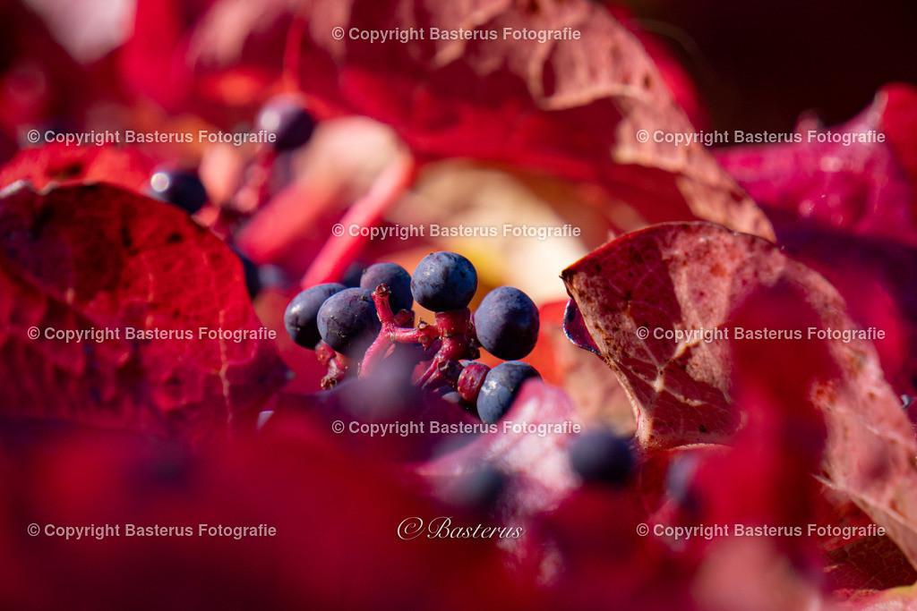 Blaue Beeren mit roten Blättern