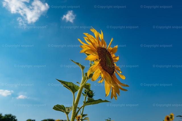 Sonnenblume im Sonnenblumenfeld | Eine blühende Sonnenblume mit blauem Himmel im Hintergrund.
