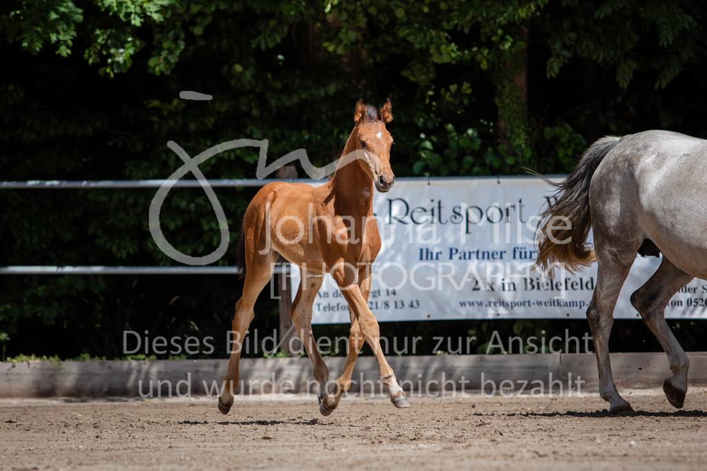 190703_Fohlenschau_WuC-088   Holsteiner Fohlenschau 2019 - Stutfohlen