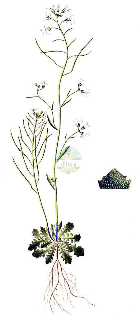 Arabidopsis arenosa (Sand-Schmalwand - Sand Rock-cress) | Historische Abbildung von Arabidopsis arenosa (Sand-Schmalwand - Sand Rock-cress). Das Bild zeigt Blatt, Bluete, Frucht und Same. ---- Historical Drawing of Arabidopsis arenosa (Sand-Schmalwand - Sand Rock-cress).The image is showing leaf, flower, fruit and seed.