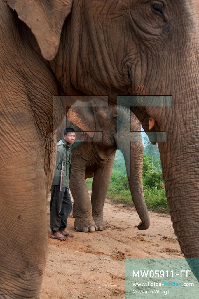 MW05911-FF | Thailand | Goldenes Dreieck | Reportage: Mahut und Elefant - Ein Bündnis fürs Leben | Mahut mit zwei Asiatischen Elefanten   ** Feindaten bitte anfragen bei Mario Weigt Photography, info@asia-stories.com **