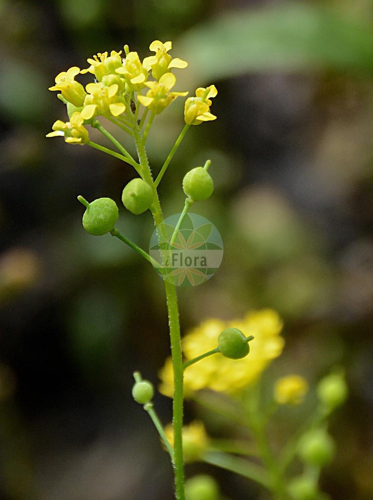 Neslia paniculata (Finkensame - Ball Mustard) | Foto von Neslia paniculata (Finkensame - Ball Mustard). Das Foto wurde in aufgenommen. ---- Photo of Neslia paniculata (Finkensame - Ball Mustard).The picture was taken in .