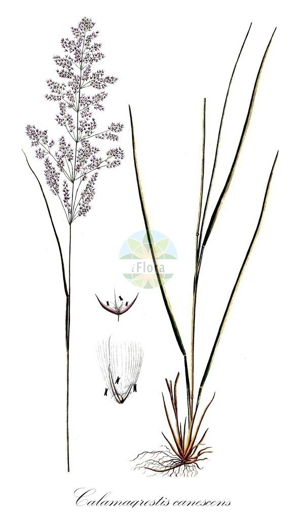 Historical drawing of Calamagrostis canescens (Purple Small-reed) | Historical drawing of Calamagrostis canescens (Purple Small-reed) showing leaf, flower, fruit, seed