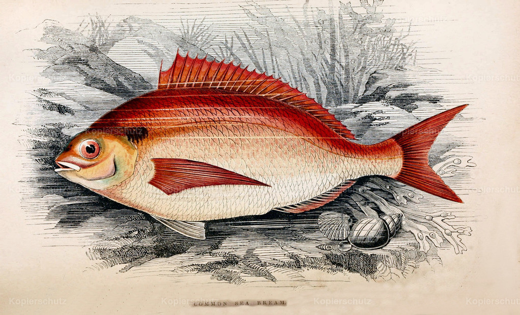 A-History-of-the -Fishes- of- the- British-Islands-Fische-1862-1866 (21)