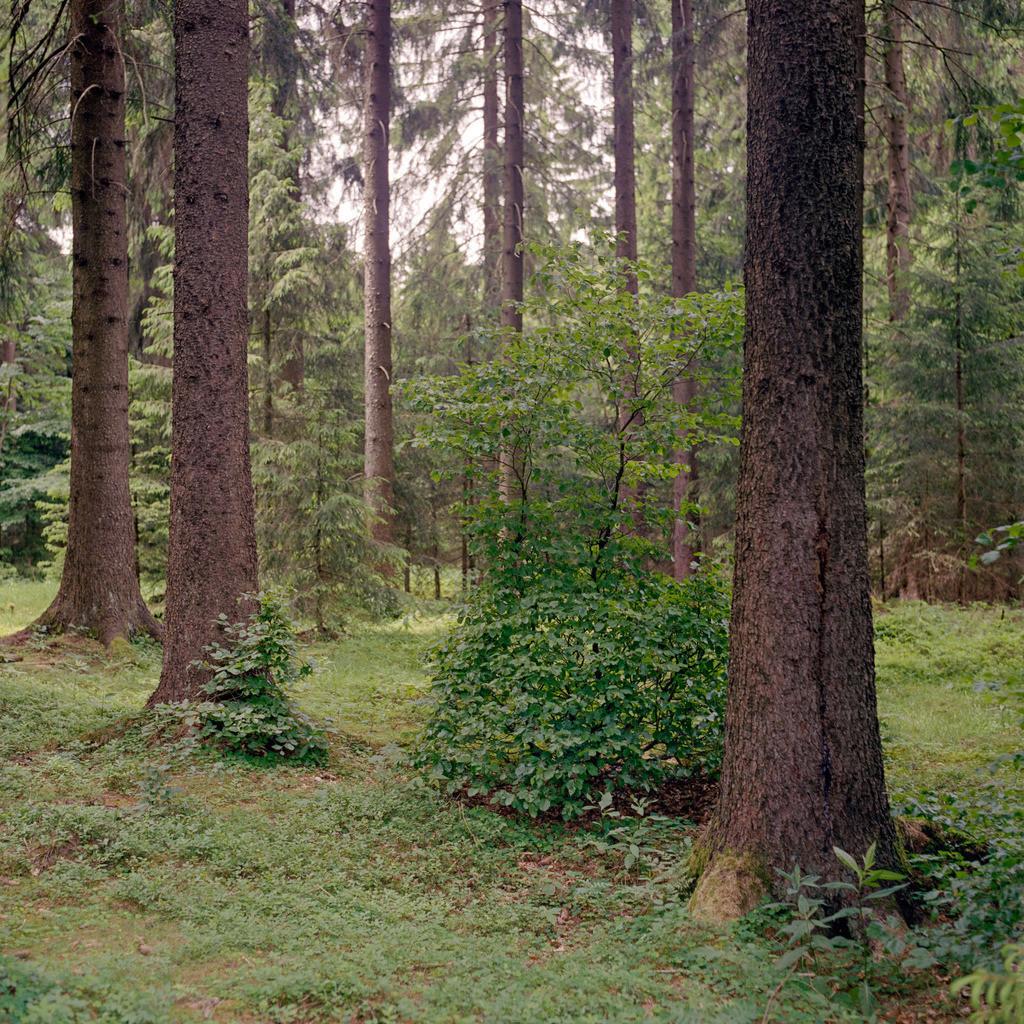 Fichten Thüringer Wald   Fichten im Thüringer Wald
