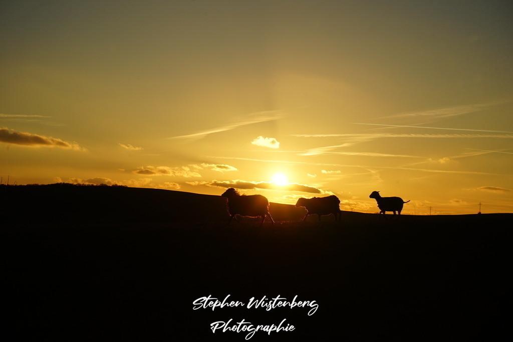 Tiere im Sonnenuntergang | Tiere im Sonnenuntergang am Inkelthalerhof bei Rockenhausen