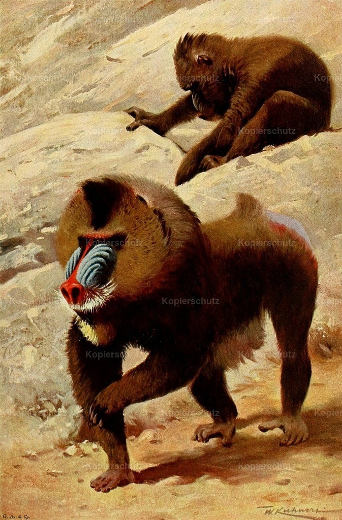 Kuhnert_ F.W. (1865-1926) - Wild Life of the World 1916 - Mandrill