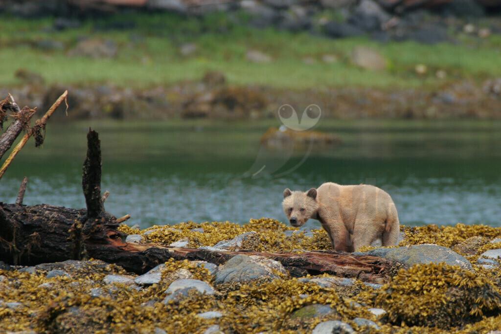 20050530201728 | Der Grizzlybär, seltener auch Graubär genannt, ist eine in Nordamerika lebende Unterart des Braunbären. Ging man in früherer Zeit noch von zahlreichen verschiedenen Unterarten auf diesem Kontinent aus, so werden heute in der Regel alle dort lebenden Braunbären mit Ausnahme der Kodiakbären als Grizzlybären bezeichnet.