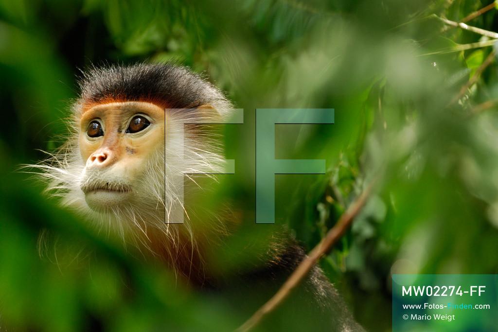 MW02274-FF | Vietnam | Provinz Ninh Binh | Reportage: Endangered Primate Rescue Center | Porträt eines Rotgeschenkligen Kleideraffen. Der Deutsche Tilo Nadler leitet das Rettungszentrum für gefährdete Primaten im Cuc-Phuong-Nationalpark.   ** Feindaten bitte anfragen bei Mario Weigt Photography, info@asia-stories.com **