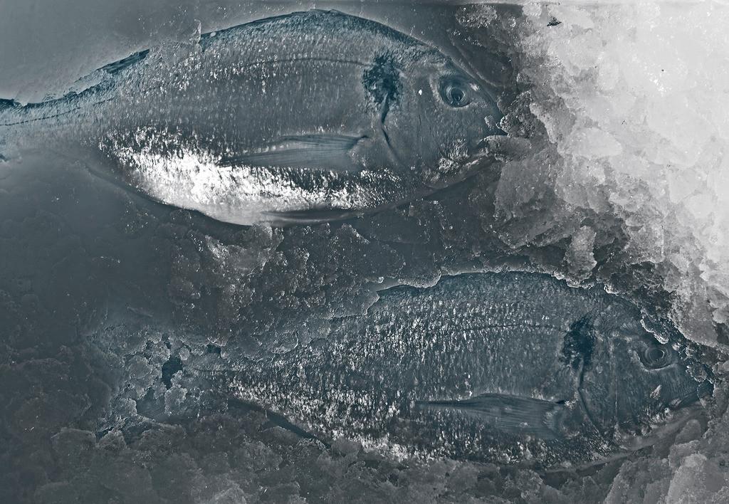 Trilogie mit Doraden 2 | zwei Doraden auf Eis