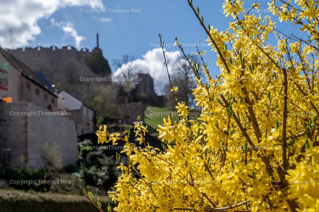 DSC_3188 | Lindenfels, Frühlingslaune in der Burgstadt, überall blüht es auf , hier Forsythien im Schloßwaldweg,  im Hintergrund die Burg, Bild: Thomas Neu