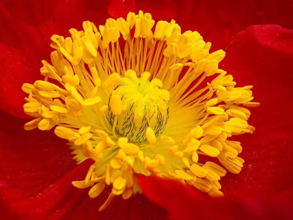 Rote Mohnblüte - Papaver | Rote Mohnblüte (Papaver).