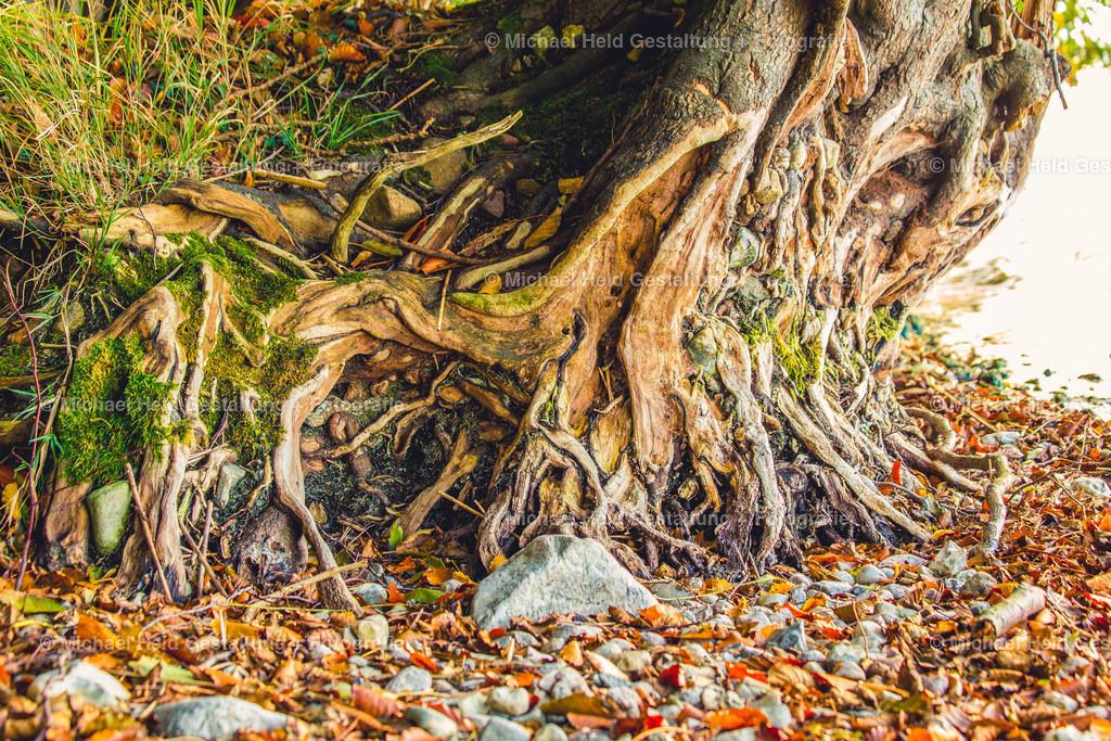Wurzeln | Baumwurzeln am Ufer des Selenter Sees