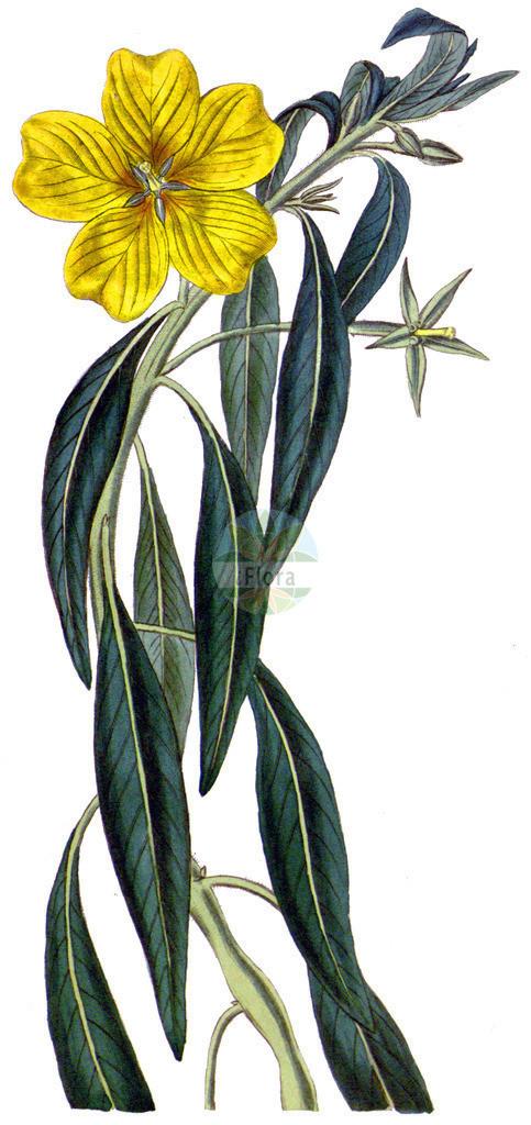 Ludwigia grandiflora | Historische Abbildung von Ludwigia grandiflora. Das Bild zeigt Blatt, Bluete, Frucht und Same. ---- Historical Drawing of Ludwigia grandiflora.The image is showing leaf, flower, fruit and seed.