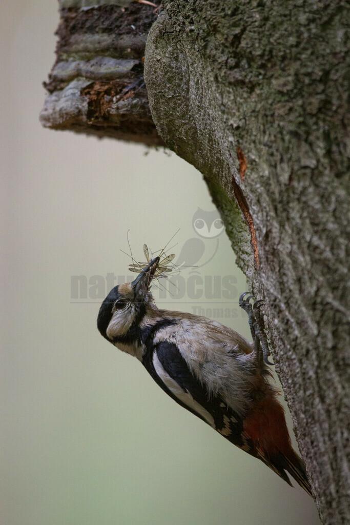 20150517_155816  | Der Buntspecht ist eine Vogelart aus der Familie der Spechte. Der kleine Specht besiedelt große Teile des nördlichen Eurasiens sowie Nordafrika und bewohnt Wälder fast jeder Art sowie Parks und baumreiche Gärten.
