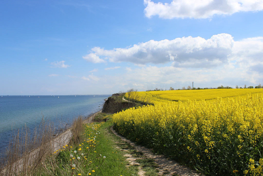 Frühling an der Ostsee | Raps an der Steilküste