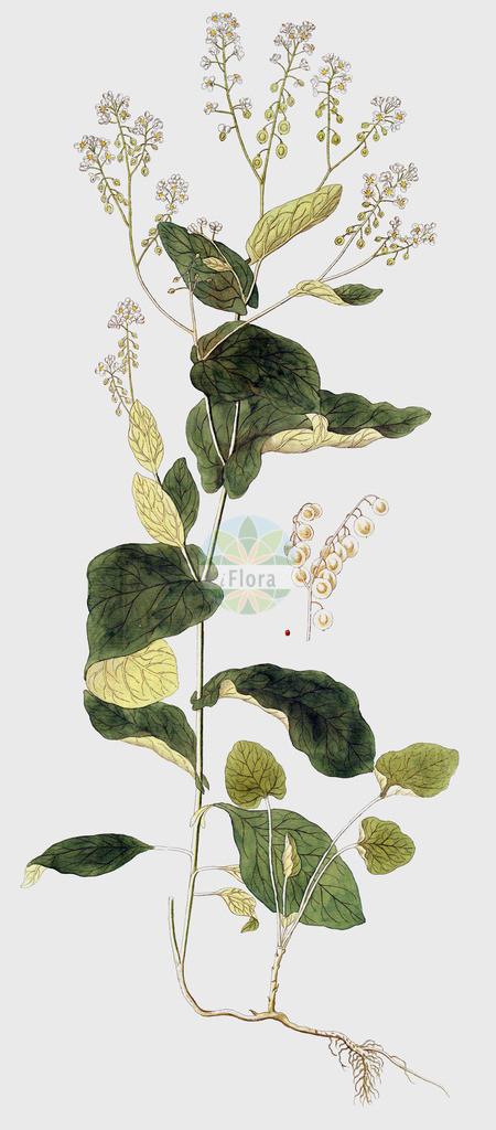 Peltaria alliacea   Historische Abbildung von Peltaria alliacea. Das Bild zeigt Blatt, Bluete, Frucht und Same. ---- Historical Drawing of Peltaria alliacea.The image is showing leaf, flower, fruit and seed.