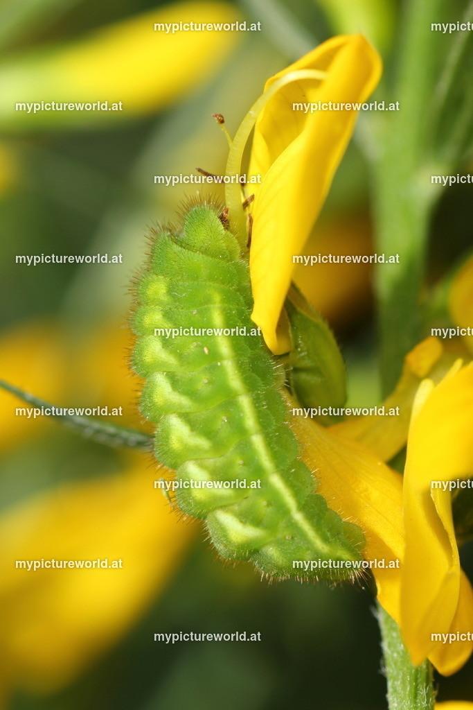 Callophrys rubi-012