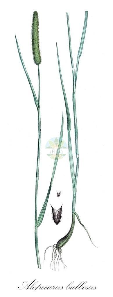 Historical drawing of Alopecurus bulbosus (Bulbous Foxtail)   Historical drawing of Alopecurus bulbosus (Bulbous Foxtail) showing leaf, flower, fruit, seed