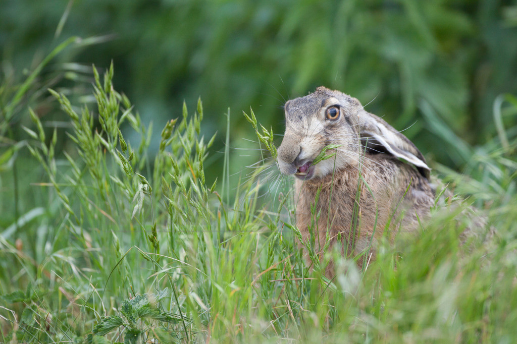 20110527_14153981212    Der Feldhase ist ein Säugetier aus der Familie der Hasen. Die Art besiedelt offene und halboffene Landschaften. Das natürliche Verbreitungsgebiet umfasst weite Teile der südwestlichen Paläarktis; durch zahlreiche Einbürgerungen kommt der Feldhase heute jedoch auf fast allen Kontinenten vor.