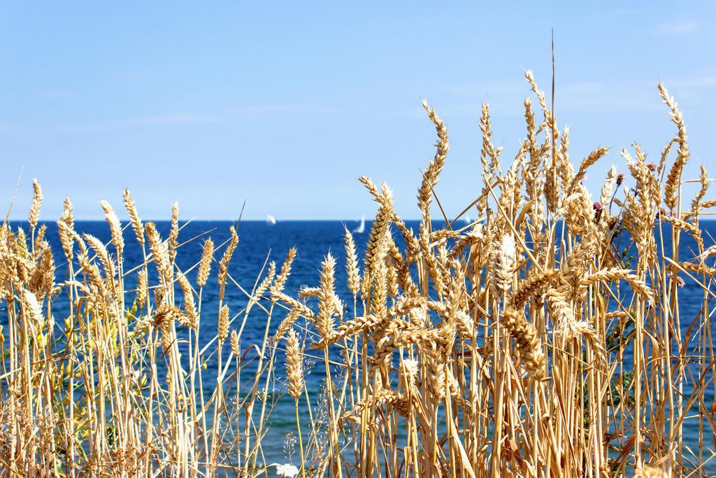 Steilküste Schönhagen | Weizen an der Steilküste in Schönhagen