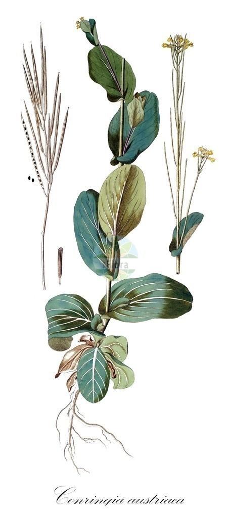 Historical drawing of Conringia austriaca (Hare's Ear Musta | Historical drawing of Conringia austriaca (Hare's Ear Mustard) showing leaf, flower, fruit, s