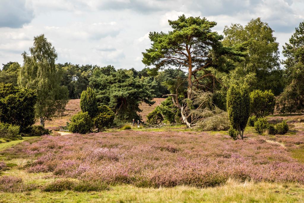 JT-171112-111 | Die Westruper Heide, im Naturpark Hohe Mark Westmünsterland, bei Haltern, Heideblüte,