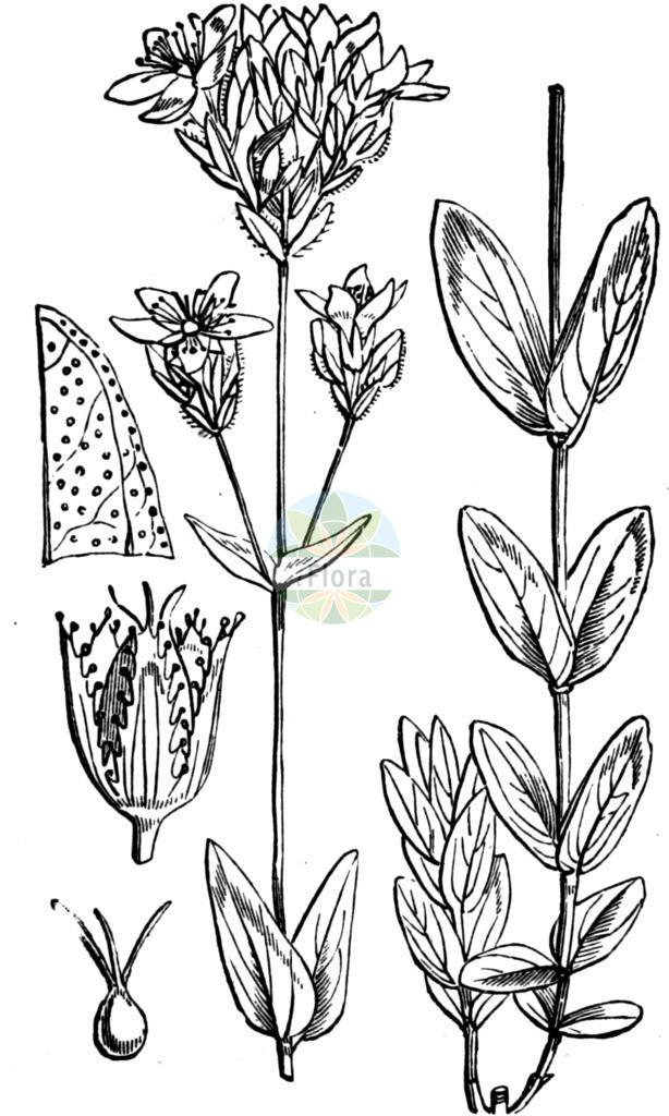 Hypericum montanum (Berg-Johanniskraut - Pale St John's-wo | Historische Abbildung von Hypericum montanum (Berg-Johanniskraut - Pale St John's-wort). Das Bild zeigt Blatt, Bluete, Frucht und Same. ---- Historical Drawing of Hypericum montanum (Berg-Johanniskraut - Pale St John's-wort).The image is showing leaf, flower, fruit an