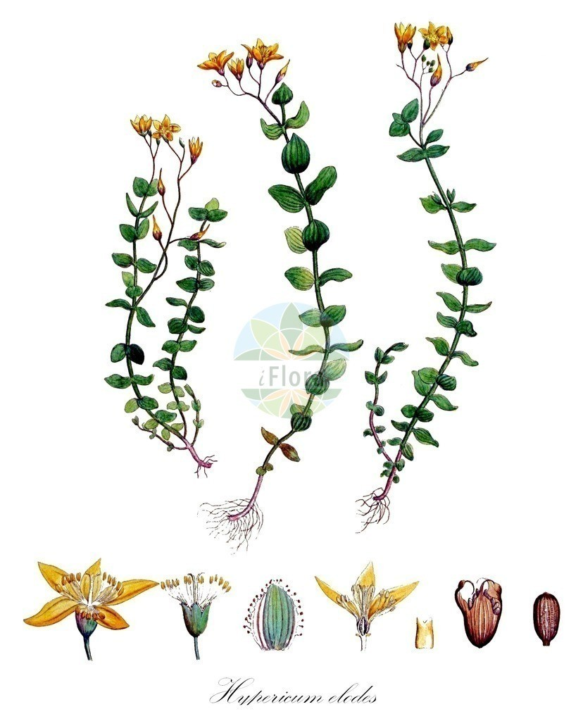 Historical drawing of Hypericum elodes (Marsh St John's-wo   Historical drawing of Hypericum elodes (Marsh St John's-wort) showing leaf, flower, fruit, s