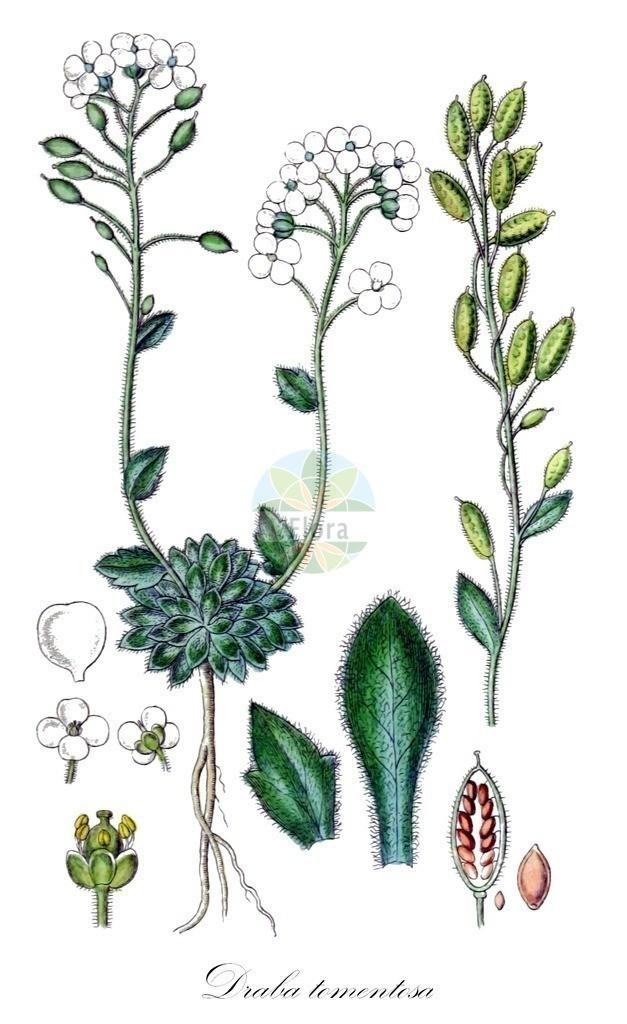 Historical drawing of Draba tomentosa (Downy Whitlowgrass) | Historical drawing of Draba tomentosa (Downy Whitlowgrass) showing leaf, flower, fruit, seed