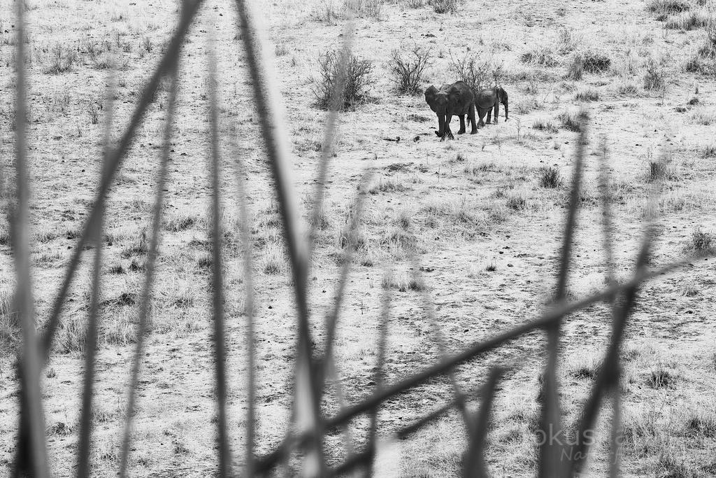Elefanten  | Elefanten im Grasland der afrikanischen Savanne.