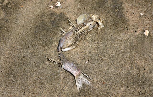 Fischgerippe | Ein Fischskelett im grobkörnigen Sand.