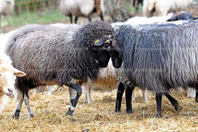 Schafe auf der Streuobstwiese - copyright by HEN-FOTO | Schafe auf der Streuobstwiese Darmstadt-Eberstadt - copyright by HEN-FOTO Peter Henrich