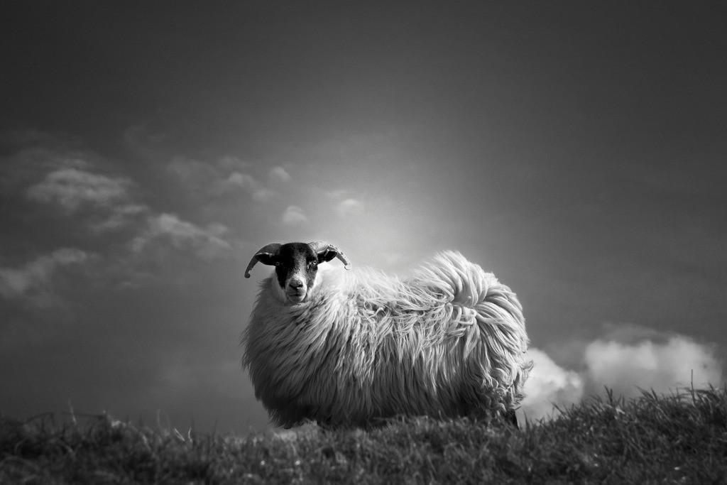 Le Fluff   Scottish-Blackface-Schaf im Hochland von Schottland.